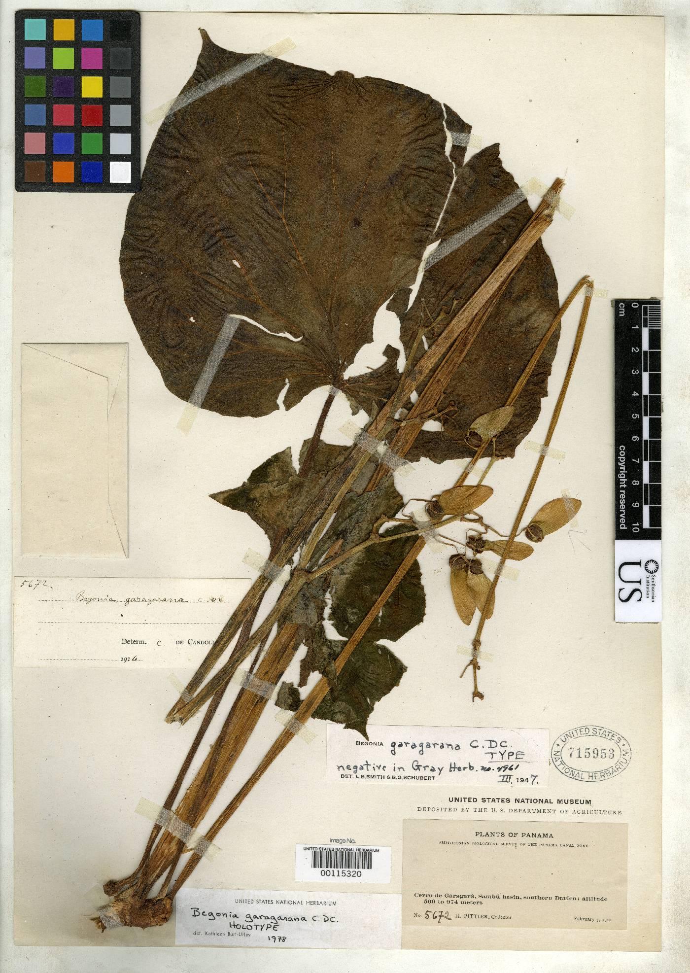 Begonia garagarana image