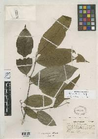 Annona papilionella image