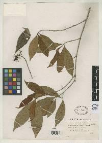 Ixora nicaraguensis image