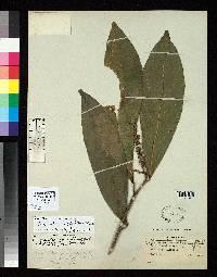 Caryodendron angustifolium image