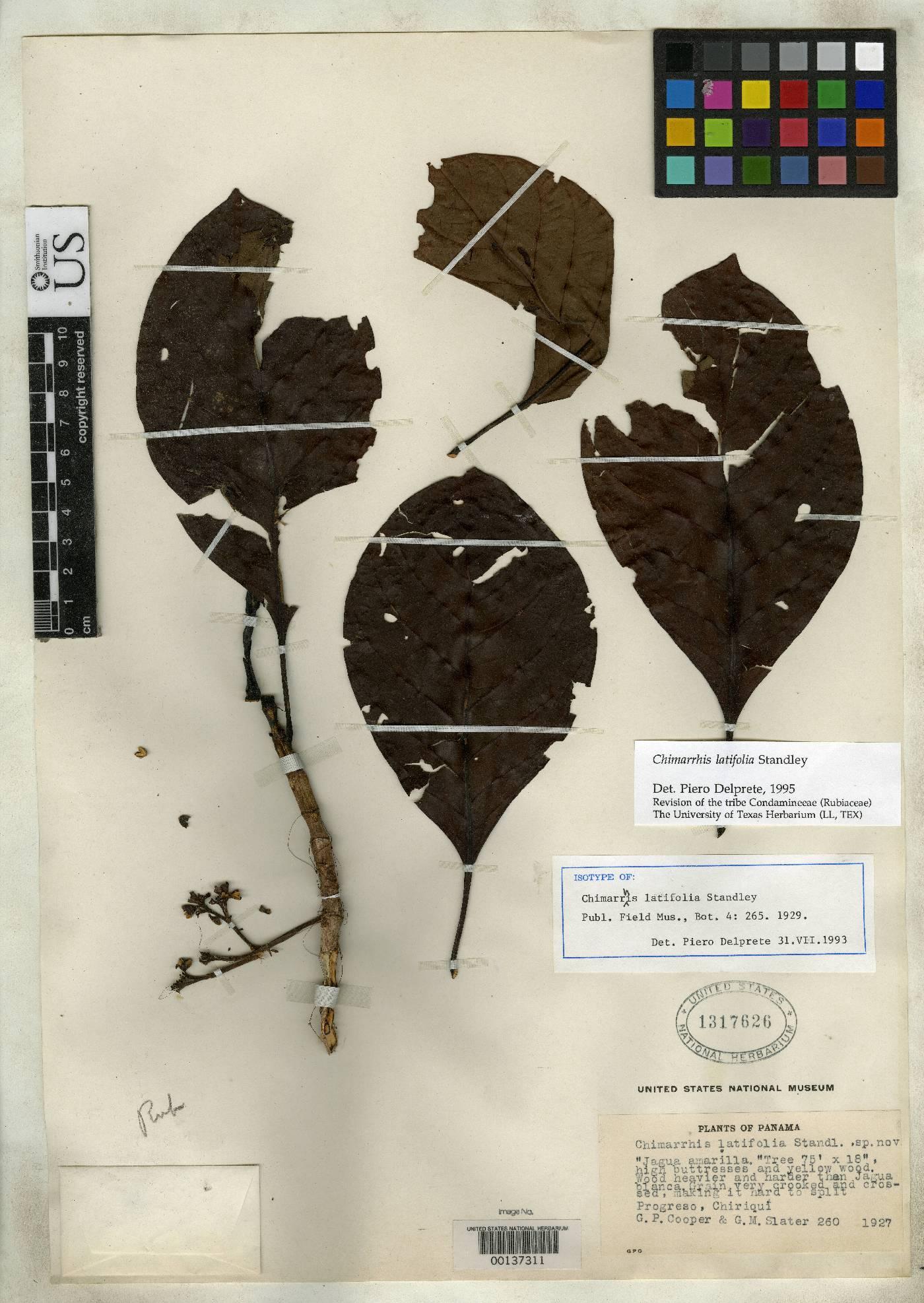 Chimarrhis latifolia image