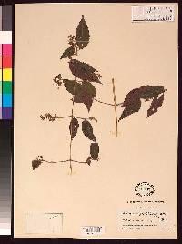 Miconia rufostellulata image