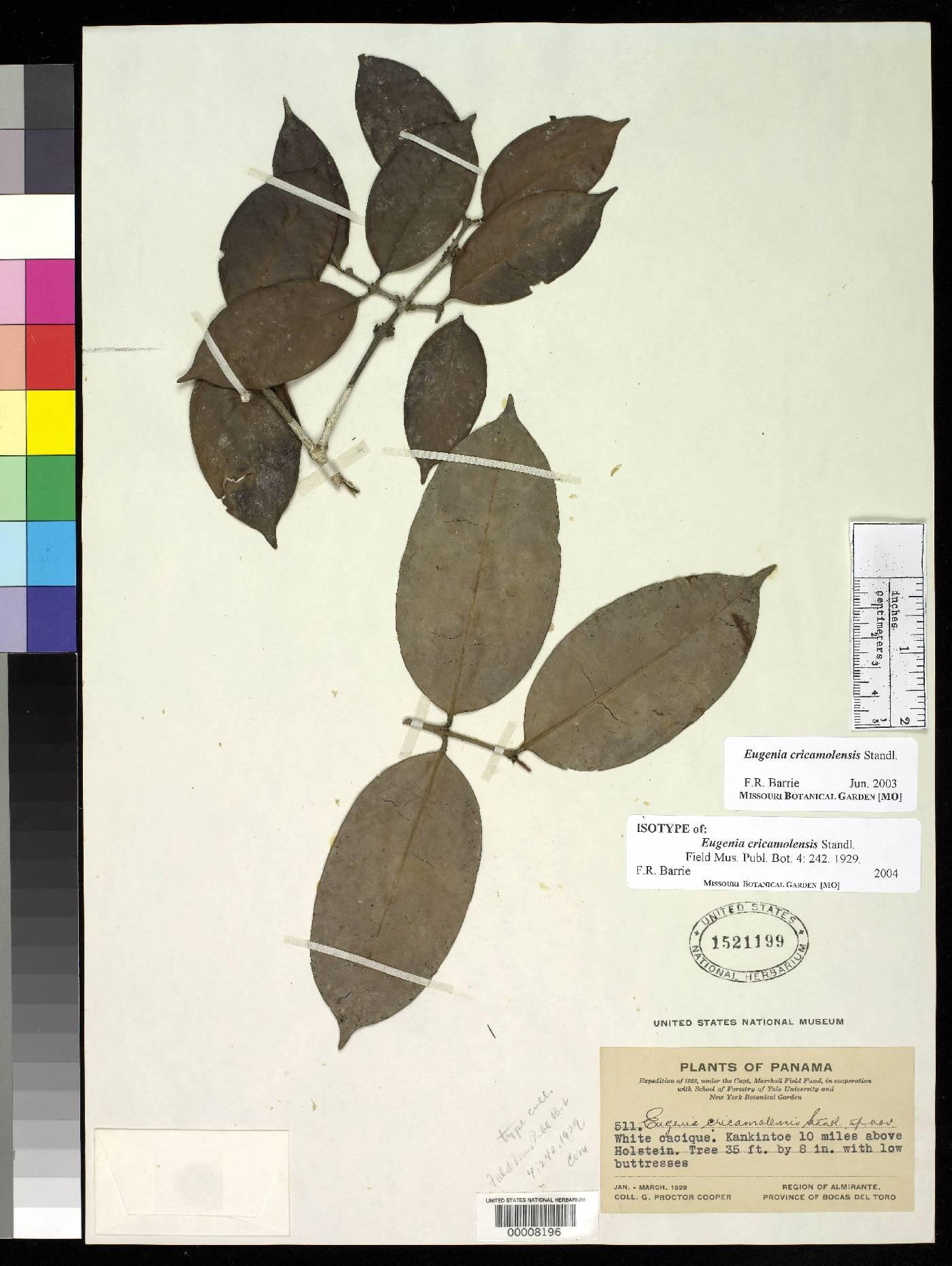 Eugenia cricamolensis image