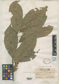 Chrysophyllum venezuelanense image