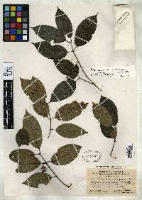 Rhamnidium caloneurum image