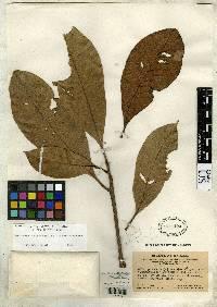 Pouteria calistophylla image