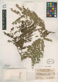 Pithecellobium pseudotamarindus image