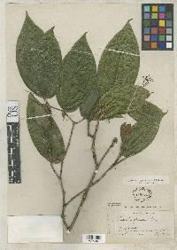 Clidemia gracilis image