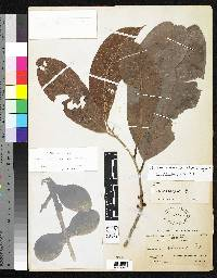 Pouteria sclerocarpa image