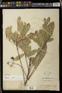 Zanthoxylum melanostictum image