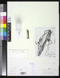 Image of Guzmania attenuata
