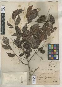 Copaifera aromatica image