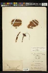Pseudobombax septenatum image