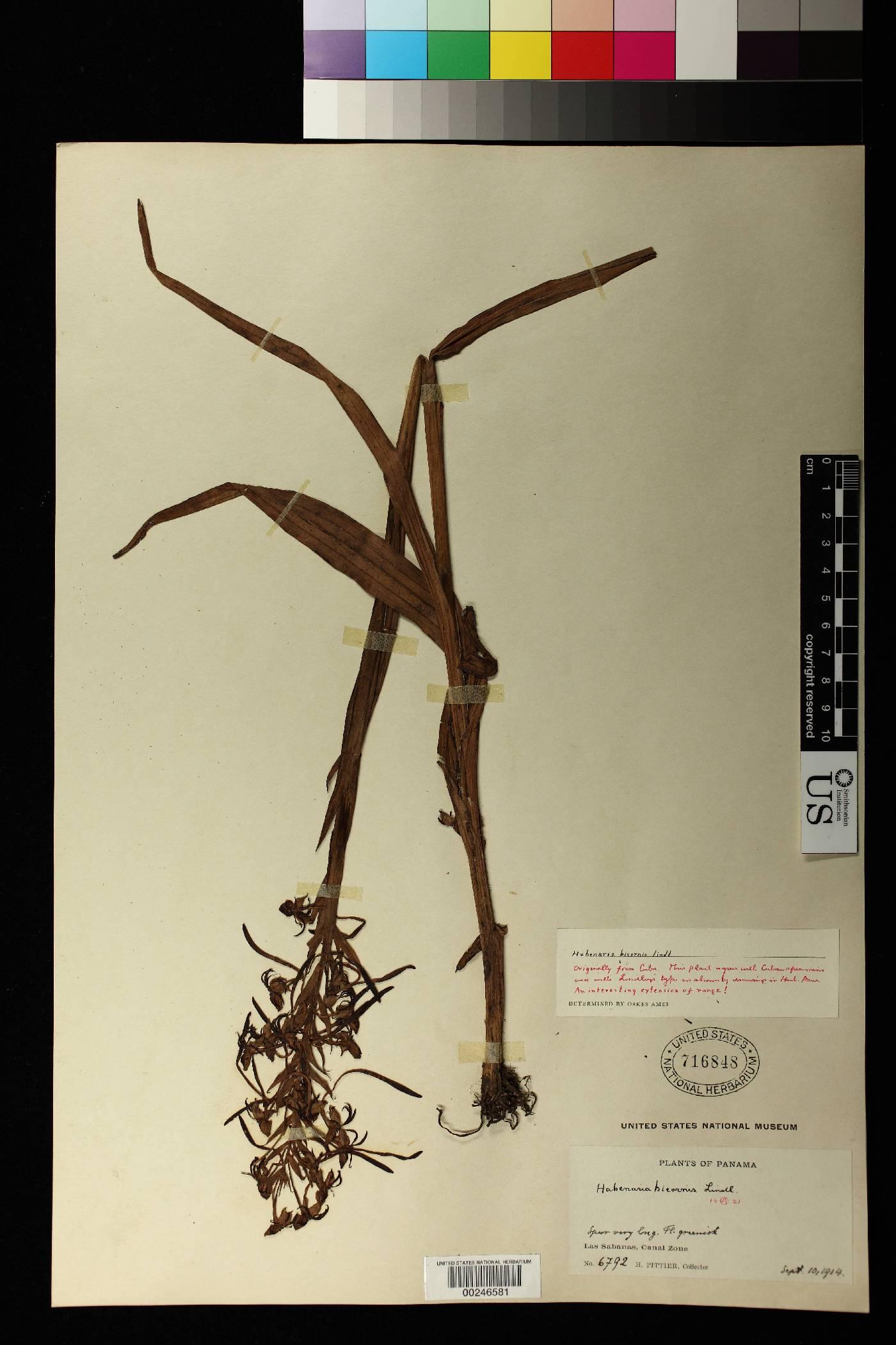 Habenaria bicornis image