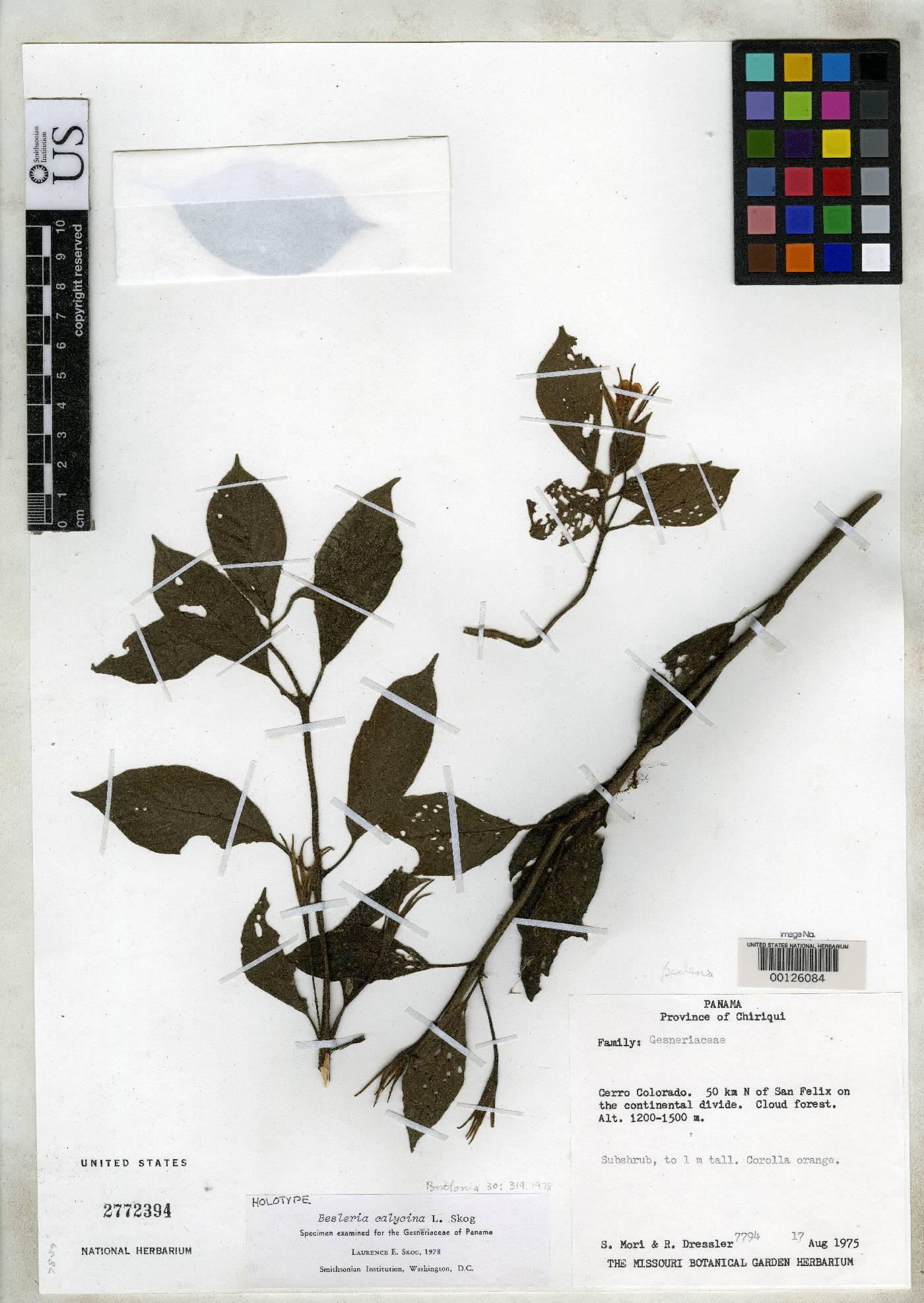 Besleria calycina image