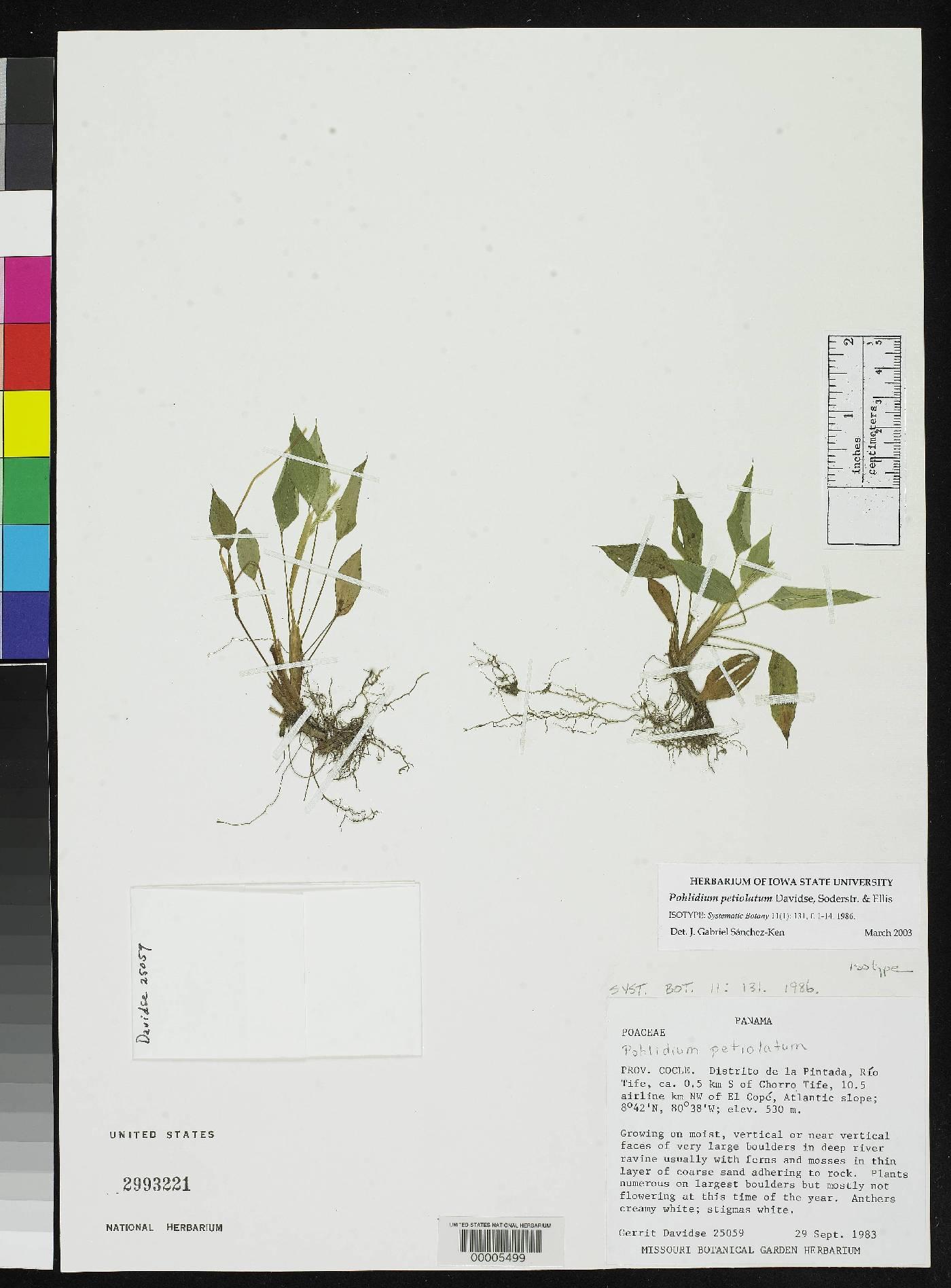 Pohlidium petiolatum image