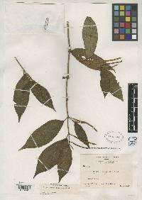 Piper minute-scabiosum image