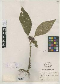 Psychotria guapilensis image