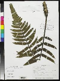 Image of Cnemidaria varians