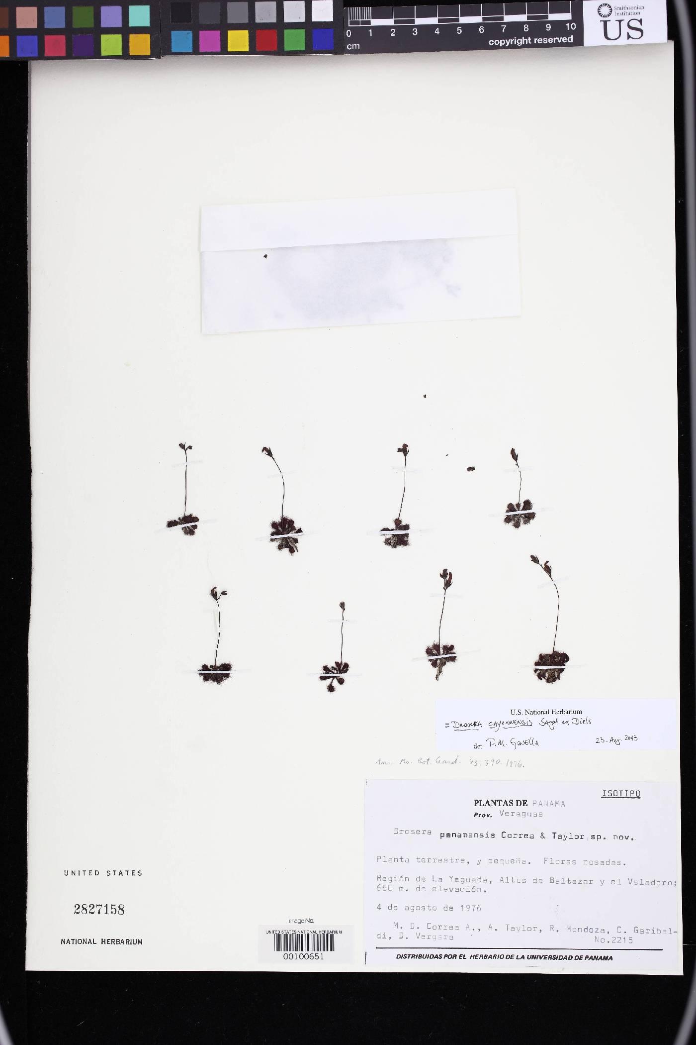Drosera cayennensis image