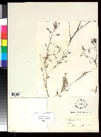 Acacia hayesii image