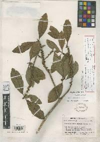 Myrsine pellucidopunctata image