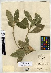 Bernardia macrophylla image