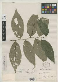 Piper pseudogaragaranum image
