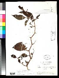 Lycianthes beckneriana image