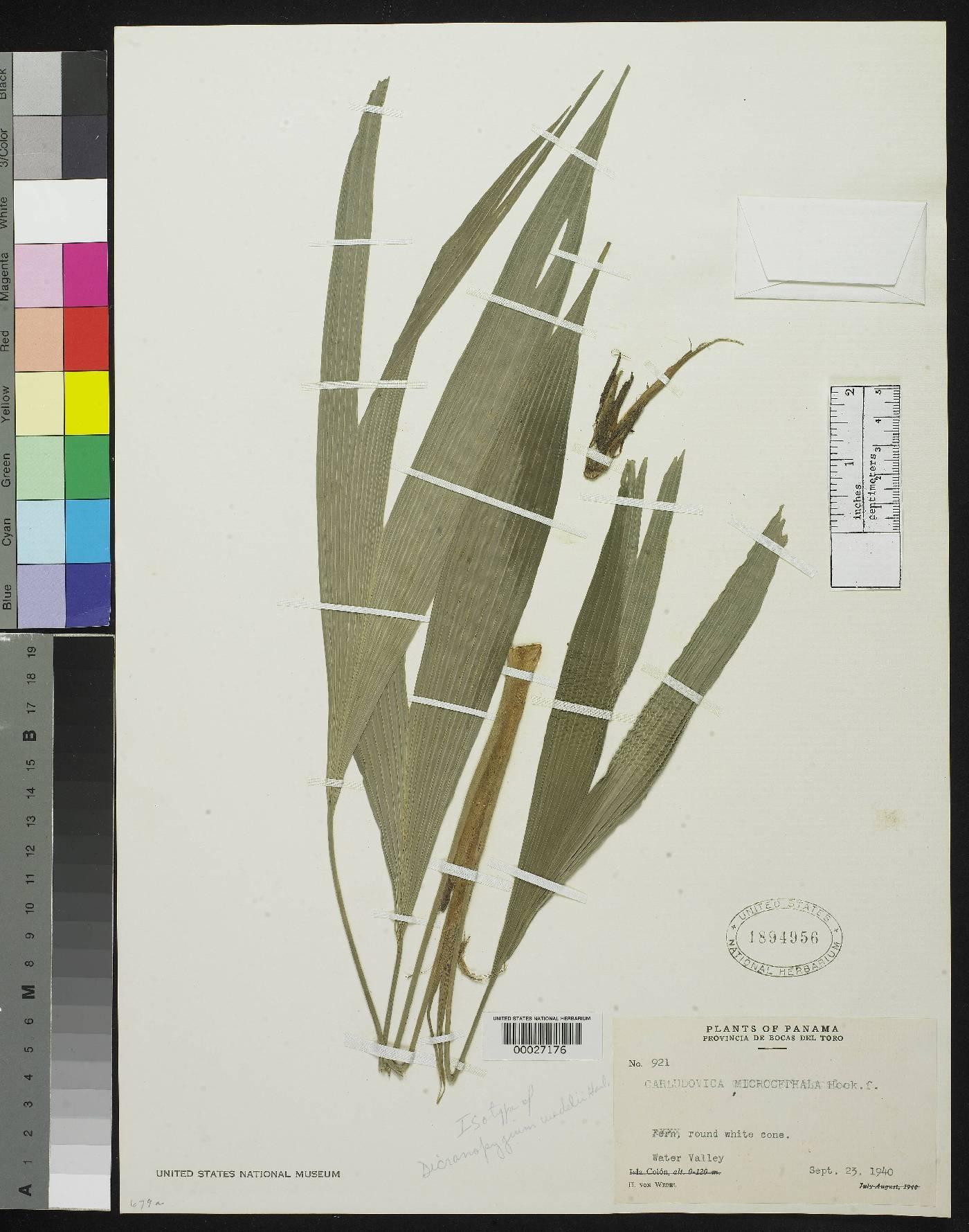 Dicranopygium wedelii image