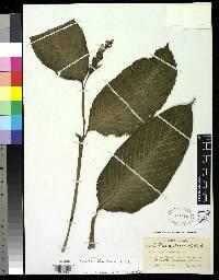 Calathea donnell-smithii image