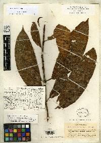 Drymonia conchocalyx image