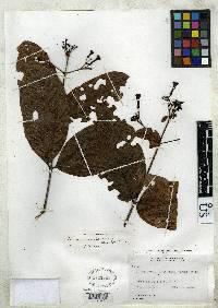 Ferdinandusa panamensis image