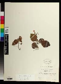 Diastema racemiferum image
