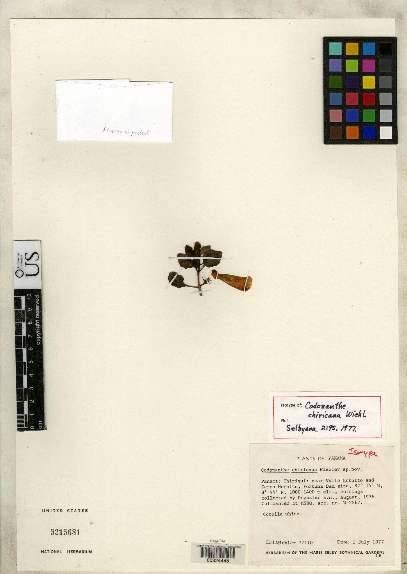 Codonanthe chiricana image