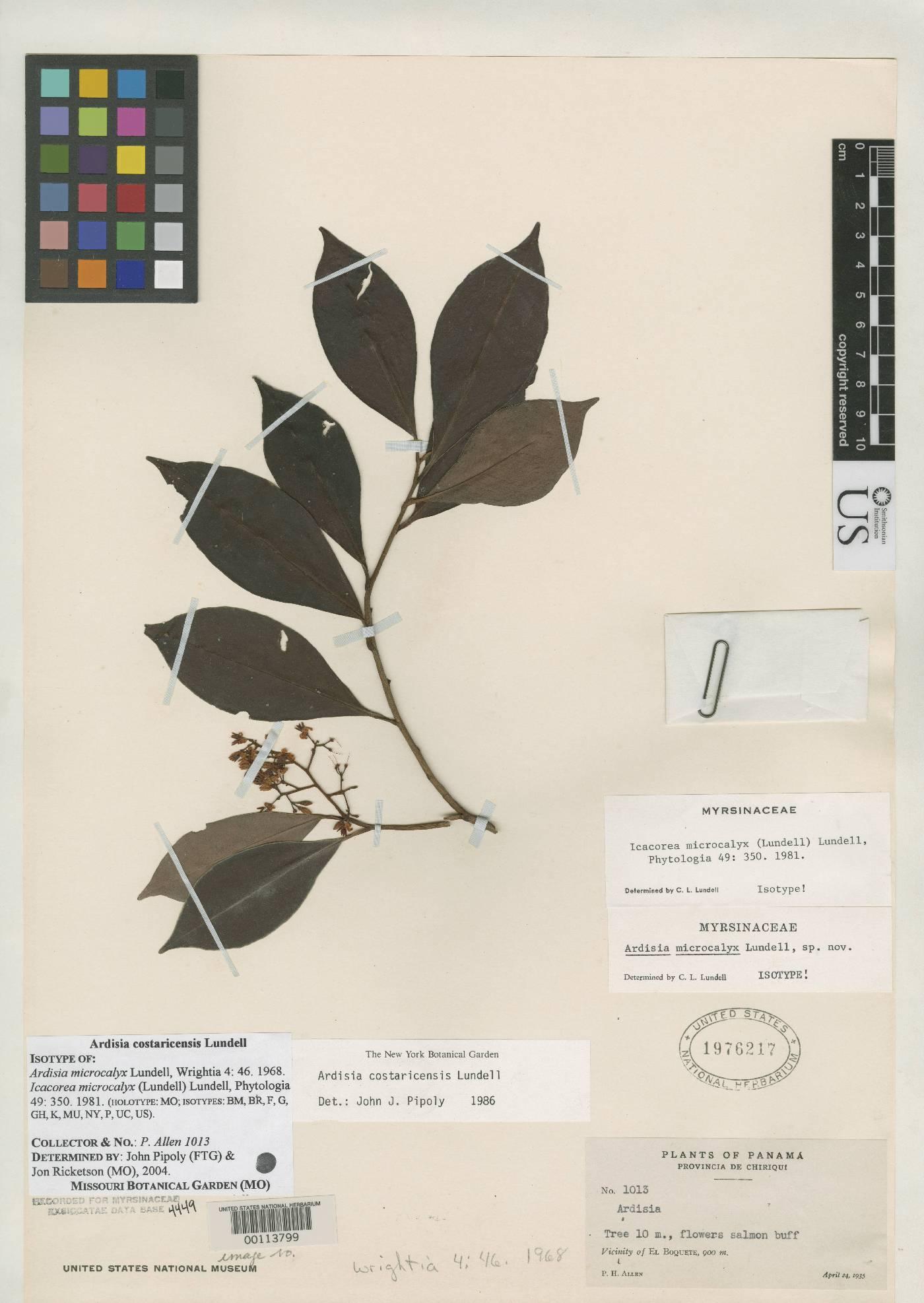 Ardisia costaricensis image