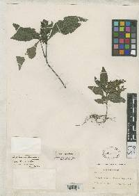 Herpetacanthus panamensis image