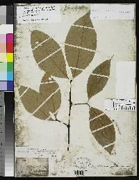 Malouetia guatemalensis image
