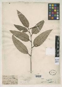 Piper cordulatum image