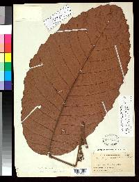 Sloanea zuliaensis image