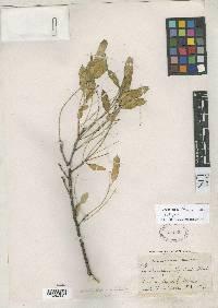 Lonchocarpus lindsayi image
