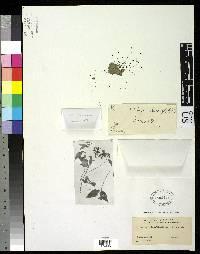 Clibadium leiocarpum image