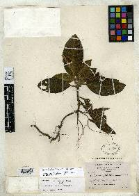 Image of Aphelandra seibertii