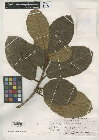 Ficus bullenei image