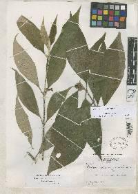 Besleria arborescens image