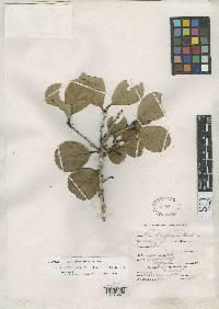 Ilex chiriquensis image