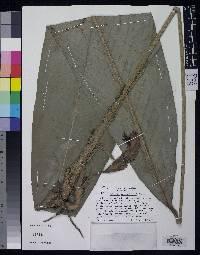 Calathea robin-fosteri image