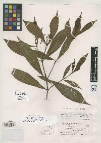 Psychotria boquetensis image