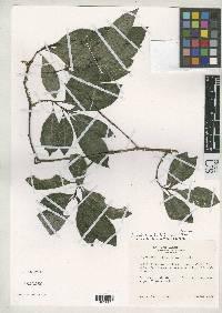 Image of Psychotria fosteri