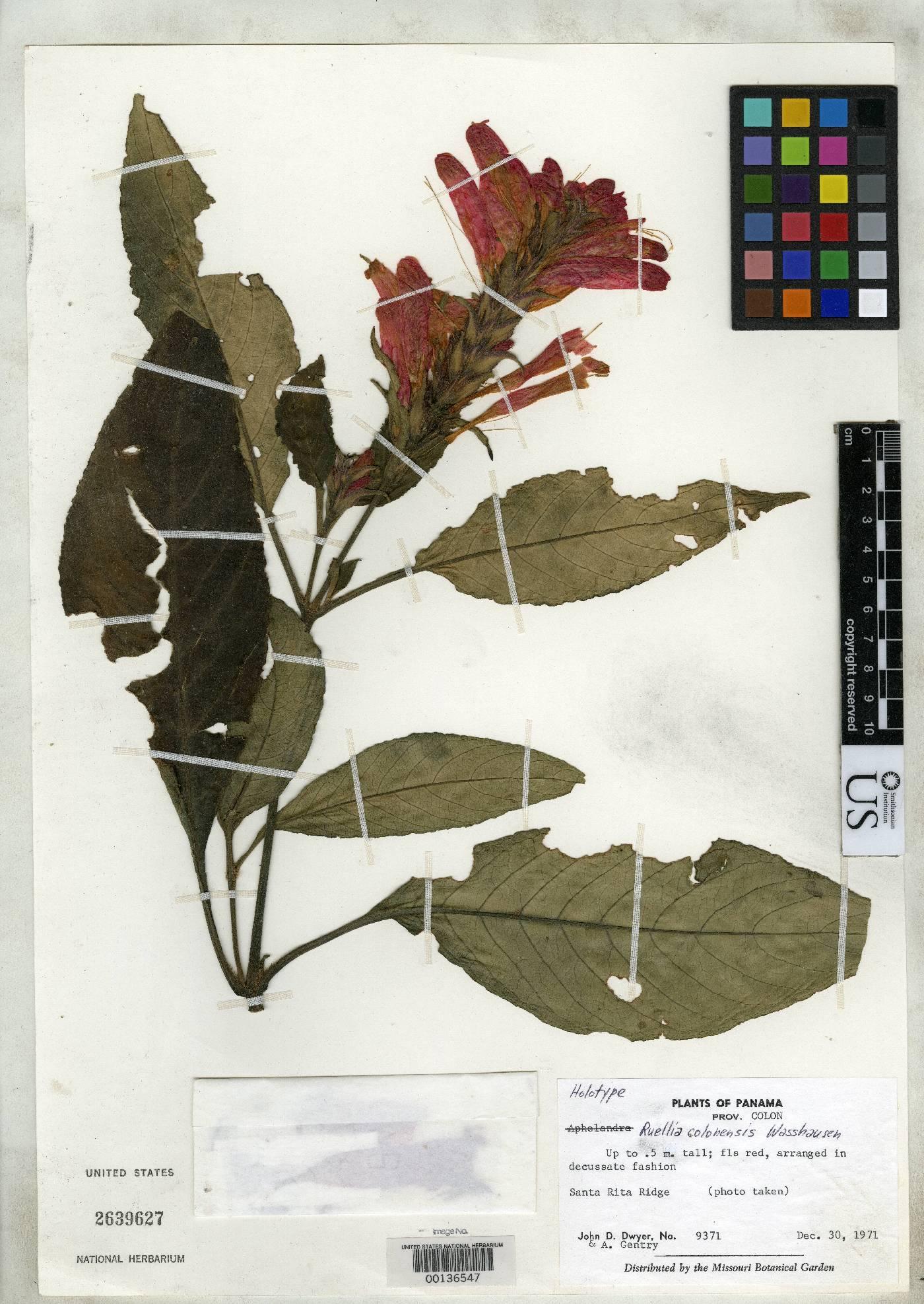 Ruellia colonensis image